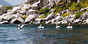 Pelecanus crispus - Dalmatian Pelican