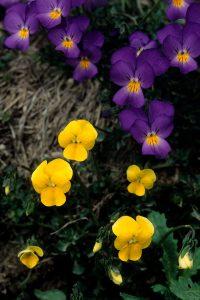Viola velutina